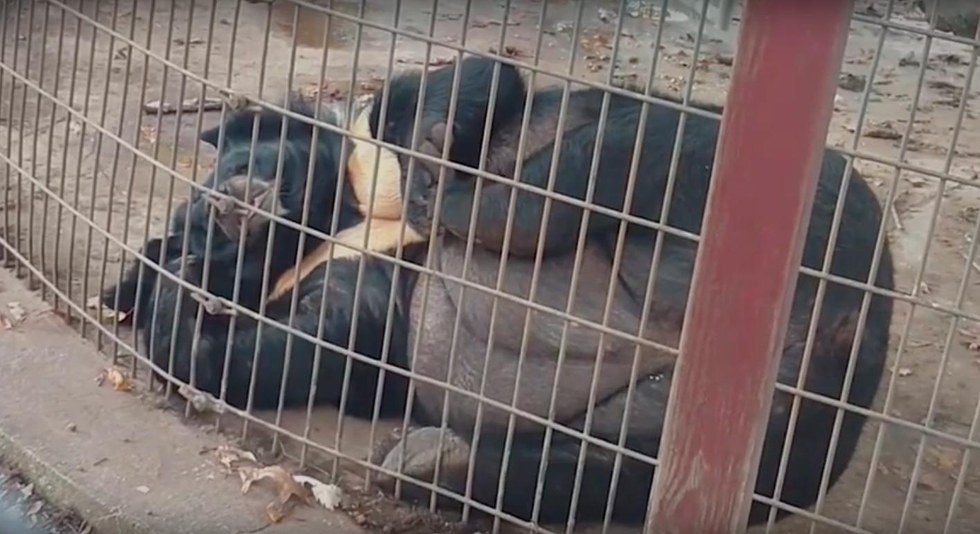 Bear Spent 10 Years In Cage So Small She Became Morbidly