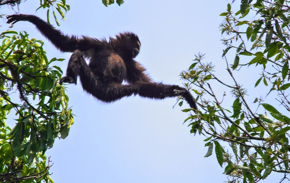 'Star Wars gibbon' is new primate species