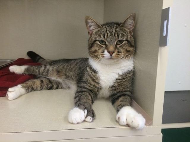 Mittens Cat Adoption