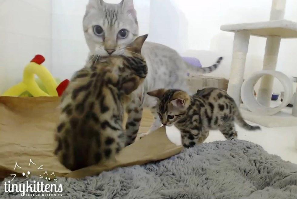 Bengal cat rescue near me