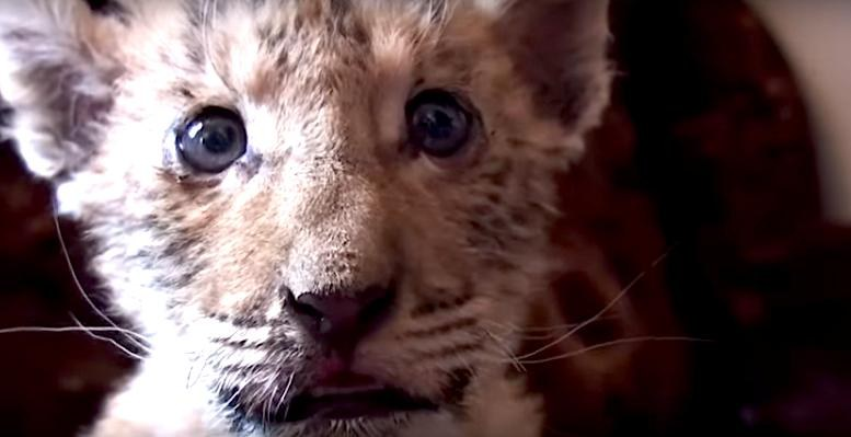 """""""liger"""" born at Russian zoo will likely have health problems"""