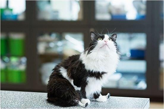 Cat Can T Walk More Than A Few Steps