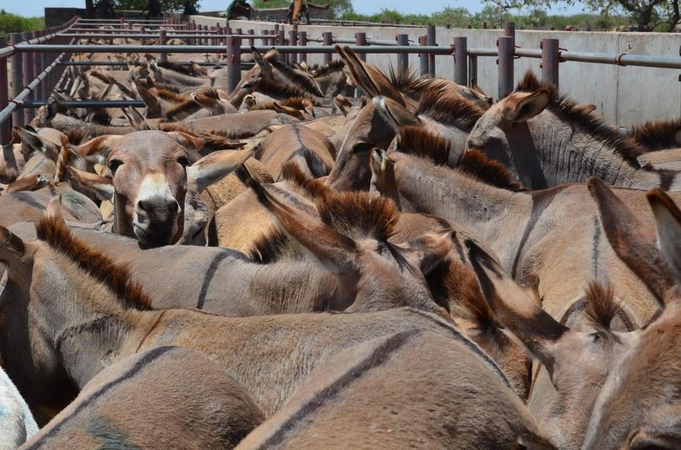 donkeys packed in pen in tanzania