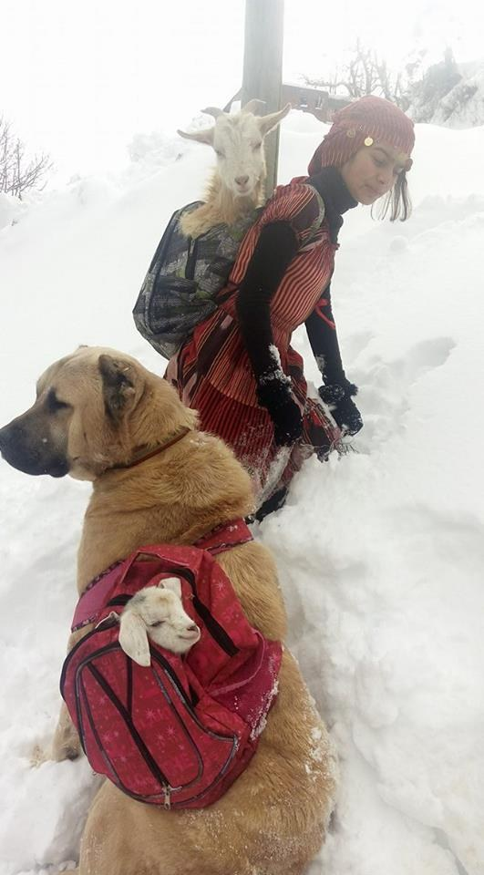 girl and dog rescue mother goat and newborn baby