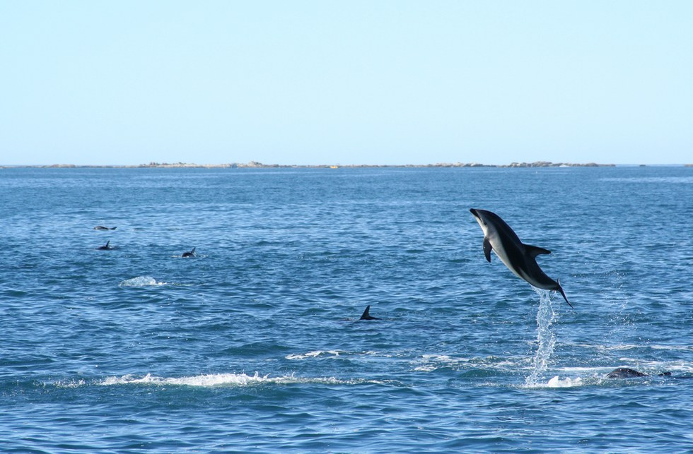 Wild dolphin jumping out of the water