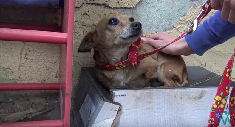Homeless three-legged dog rescued