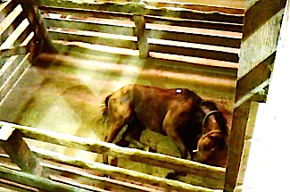 Auction horse with broken front leg