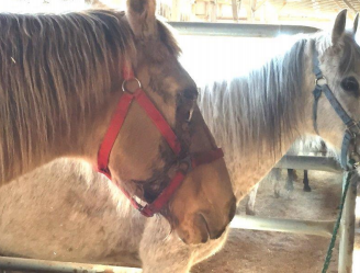 Horse with eye infection at auction