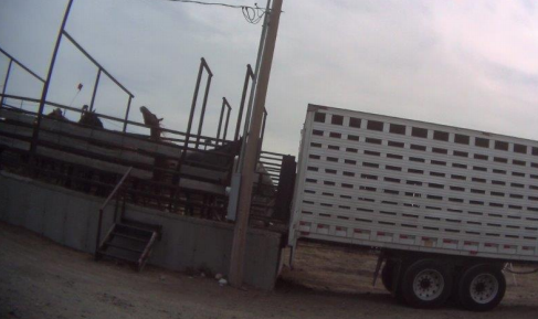 Slaughter-bound horses being loaded onto truck