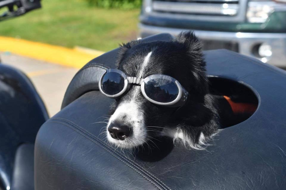 Service dog on back of motorcycle in sunglasses