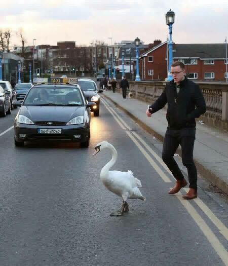 Man helping swan cross street in Limerick, Ireland