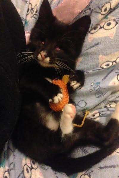 Elsa the blind kitten playing with a toy