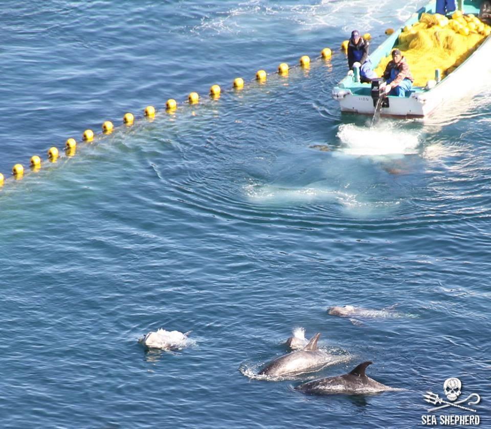 Dolphin drive hunt in Taiji, Japan