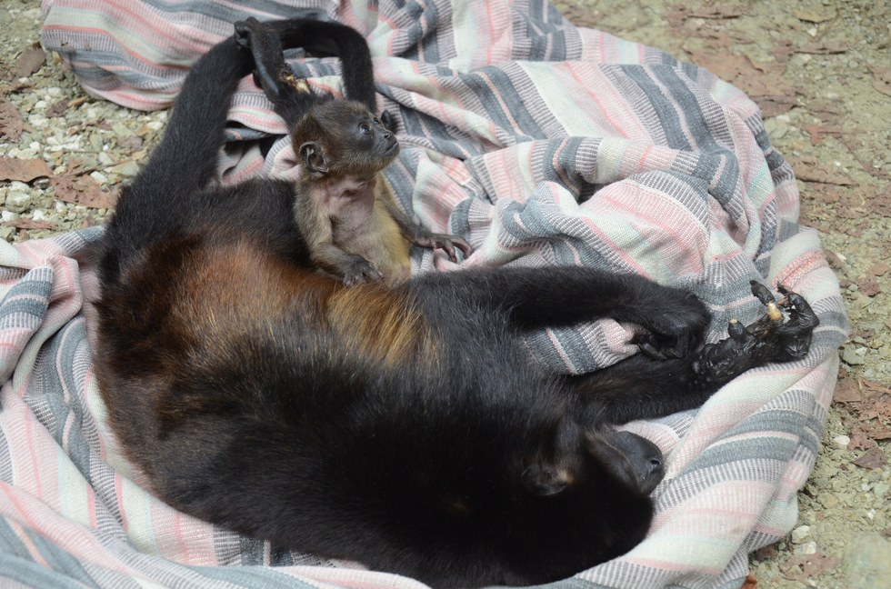 Howler monkey and her dying mom