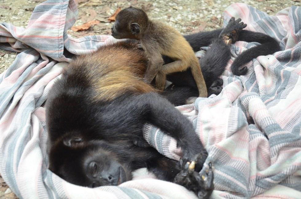 Baby howler monkey holding her dead mom's body