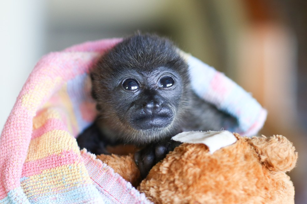 Rescued orphaned howler monkey gets teddy bear