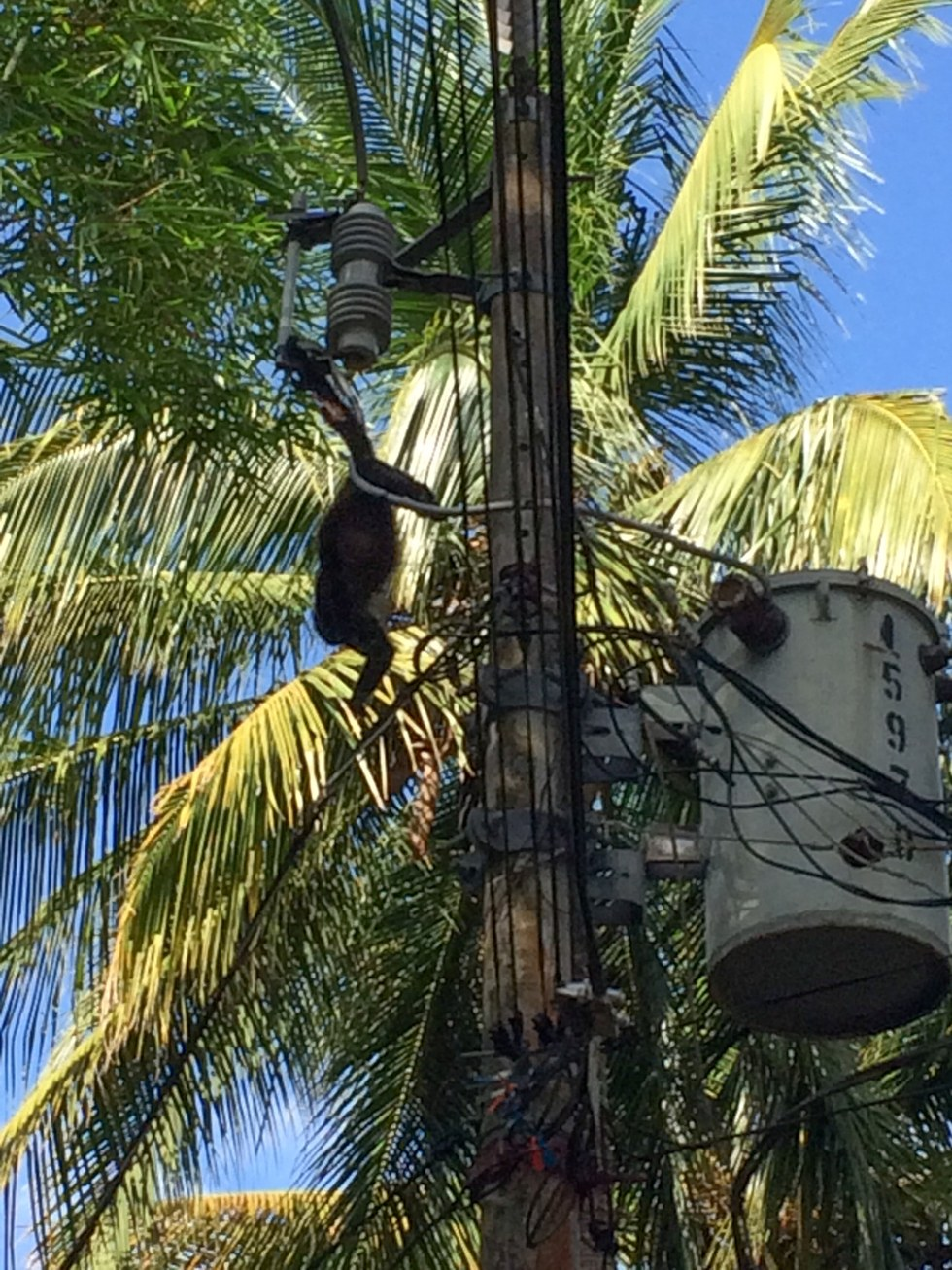 Howler monkey caught in power lines