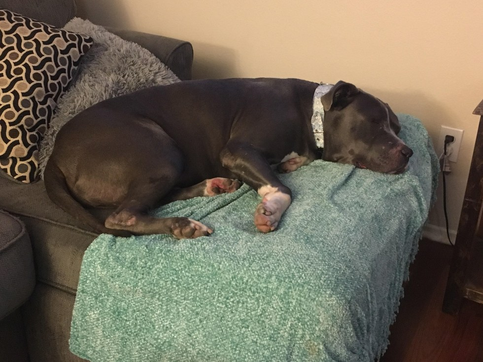 Rescued pit bull lying on the couch