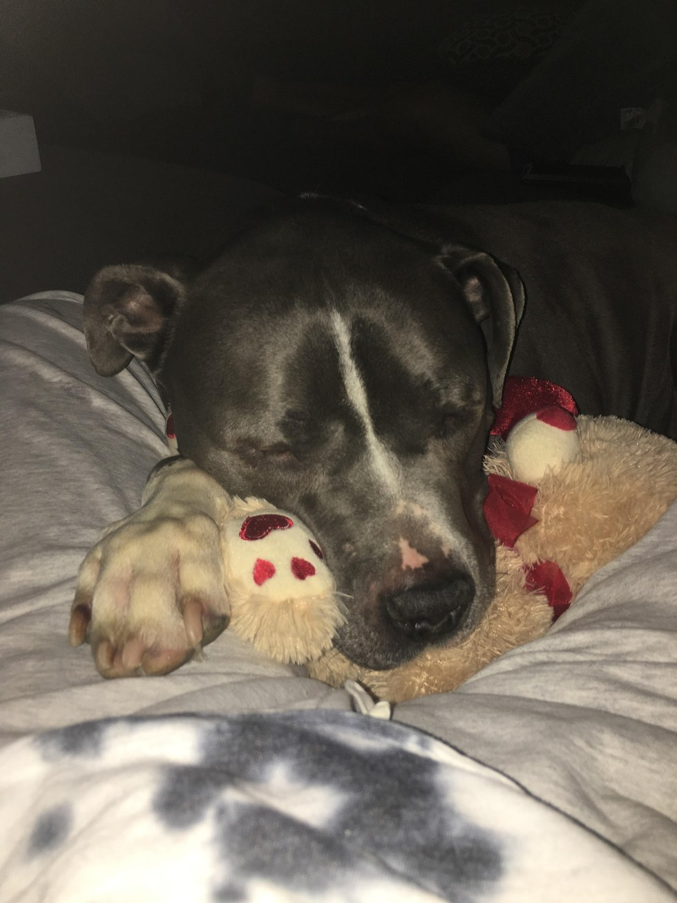 Rescued pit bull happy in his new home