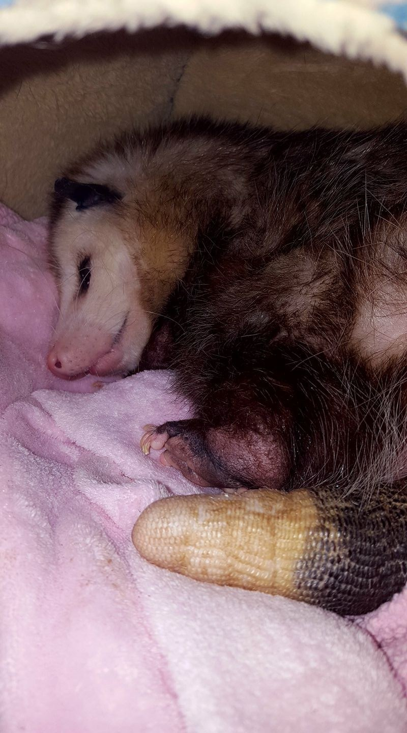 blind opossum rescued loves to snuggle
