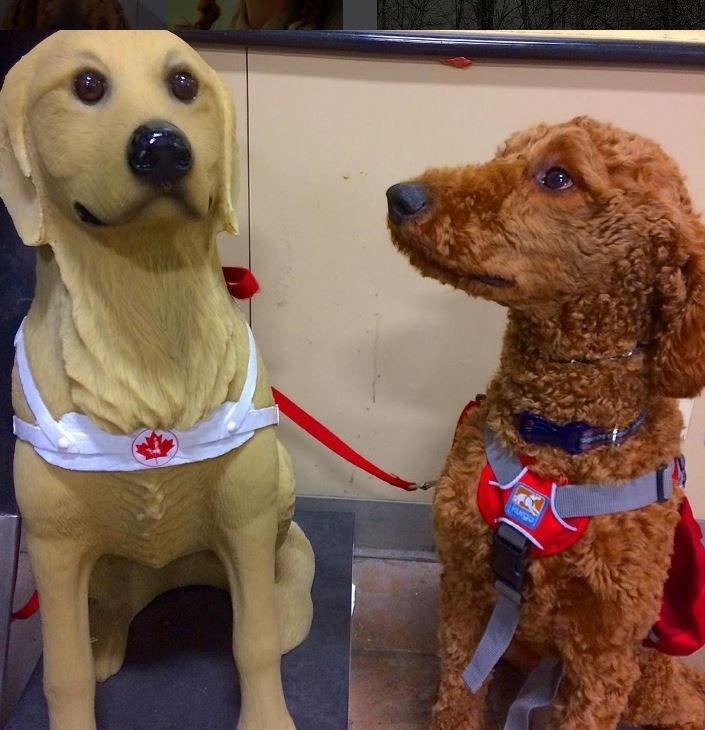 service dog looking at fake service dog