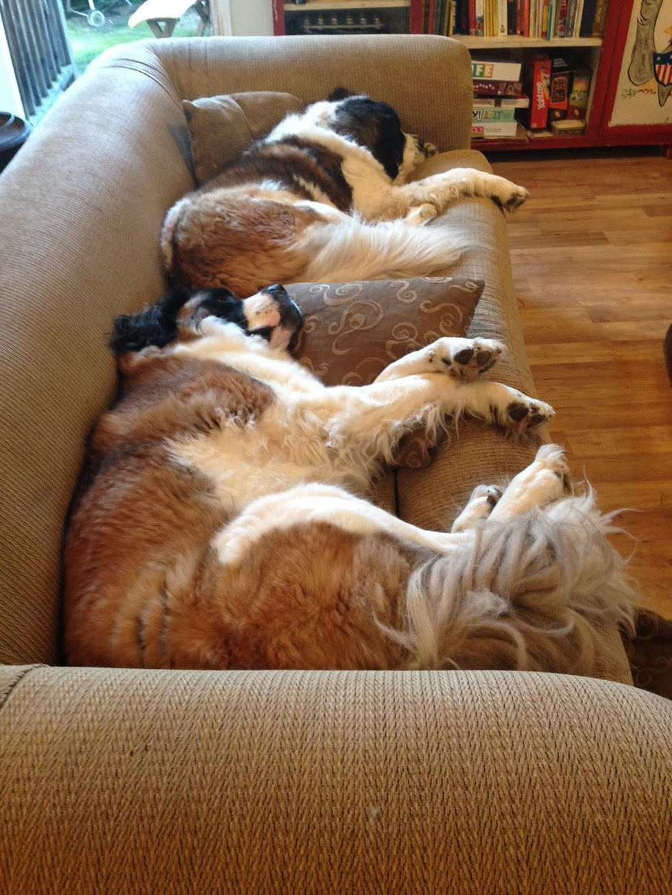 St. Bernard dog sleeping on the couch in her new home