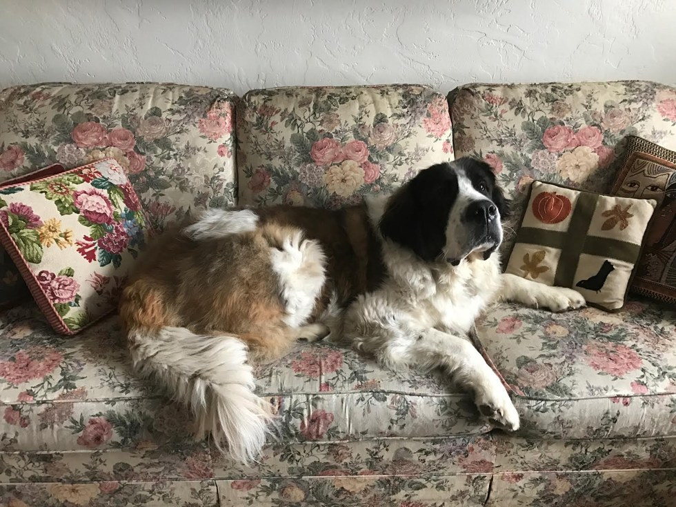 St. Bernard dog at her new home in the United States