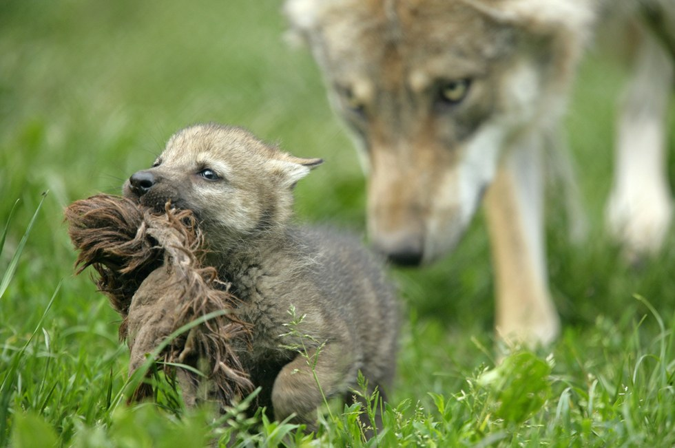 Wolf pup watched over by mom