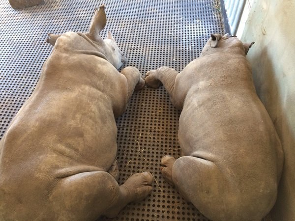 Rhinos Thando and Impy at Thula Thula Rhino Orphanage