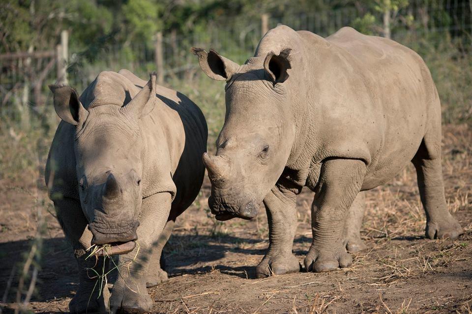 Rhinos Gugu and Thando at Thula Thula