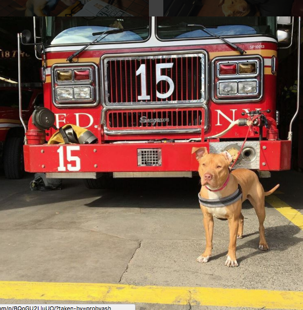 Pit Bull Lives At Firehouse After Being Rescued From Neglect