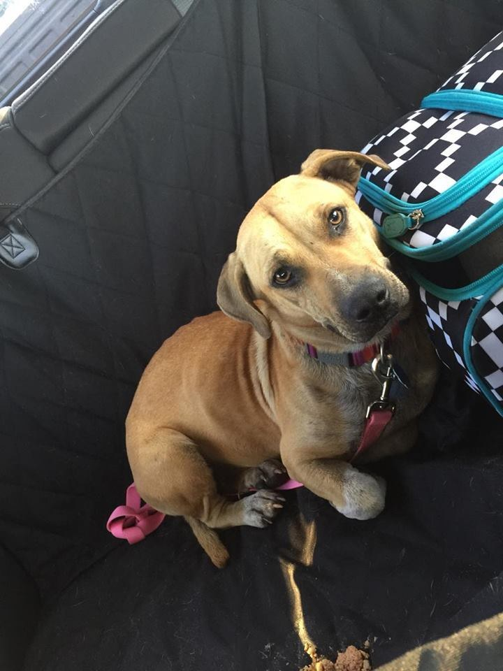 Harper, a hound mix dog rescued from Redland, Florida