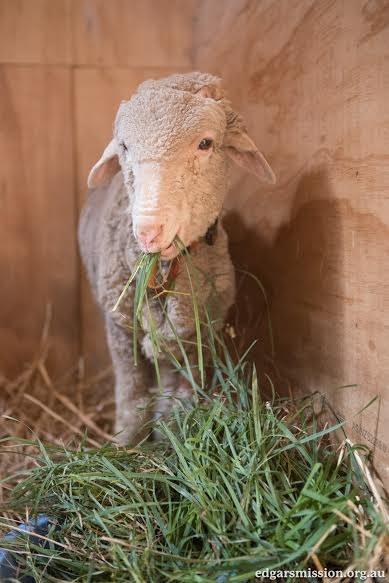 Lambert the lamb at Edgar's Mission, an animal sanctuary in Australia