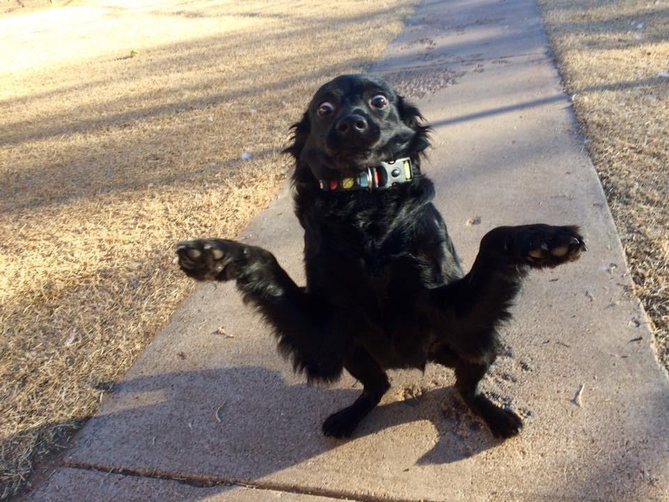 Banana, a high energy dog who likes to pose like a crab