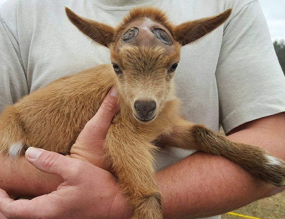 Goat after getting horns burned off in disbudding procedure