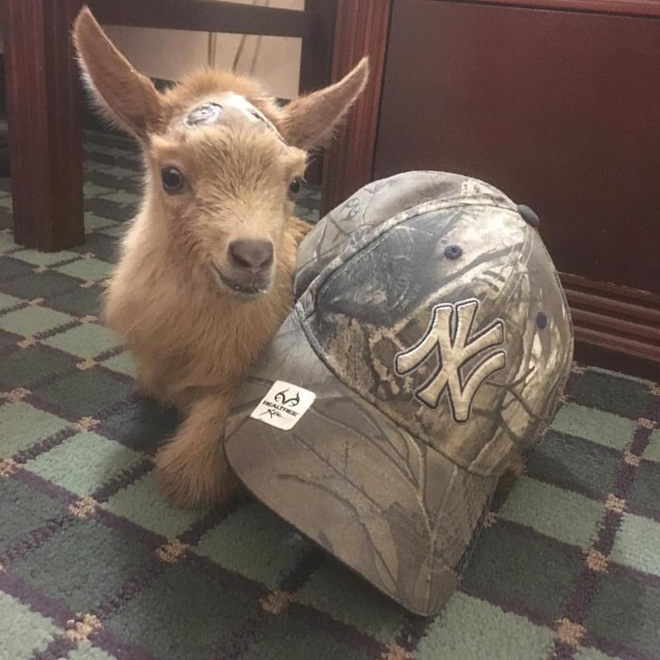 Lawson the goat compared to the size of a baseball cap