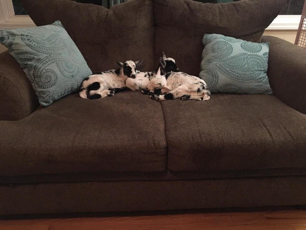 Orphaned baby goats sleeping on sofa