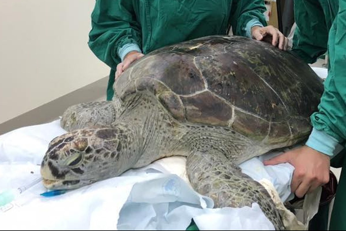 Sea turtle saved after swallowing coins