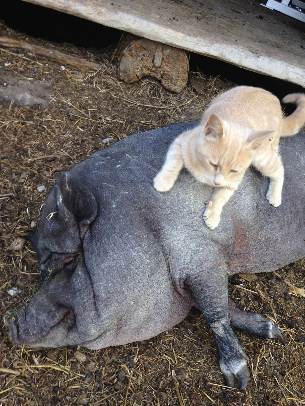 Cat Befriends Pig