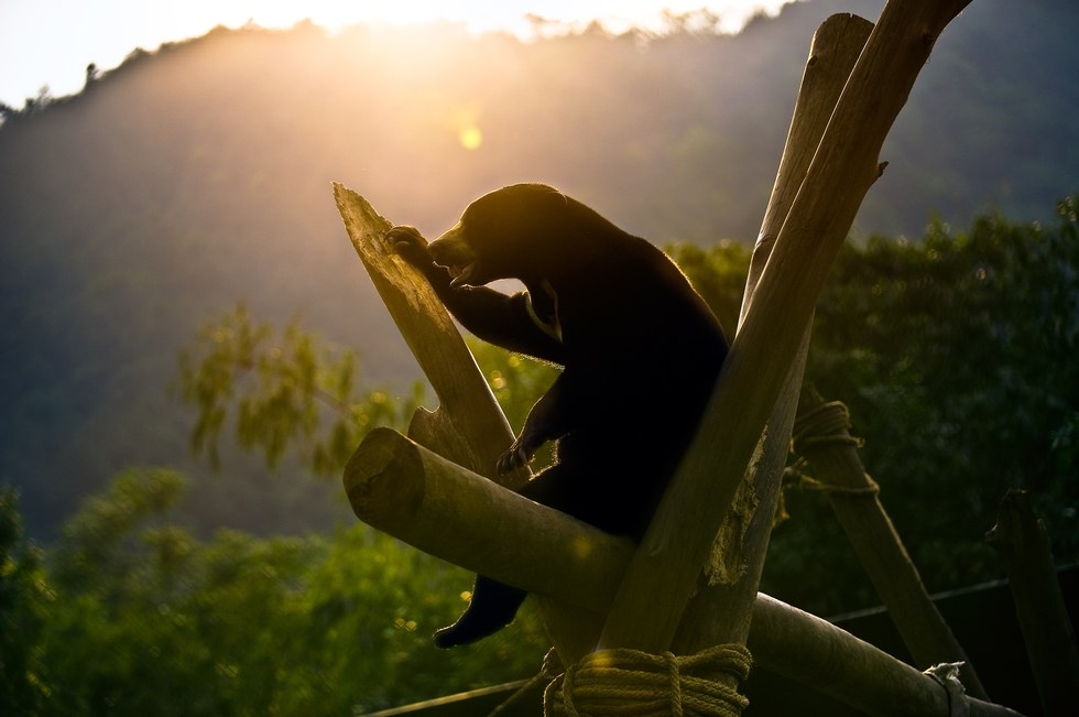 blind sun bear