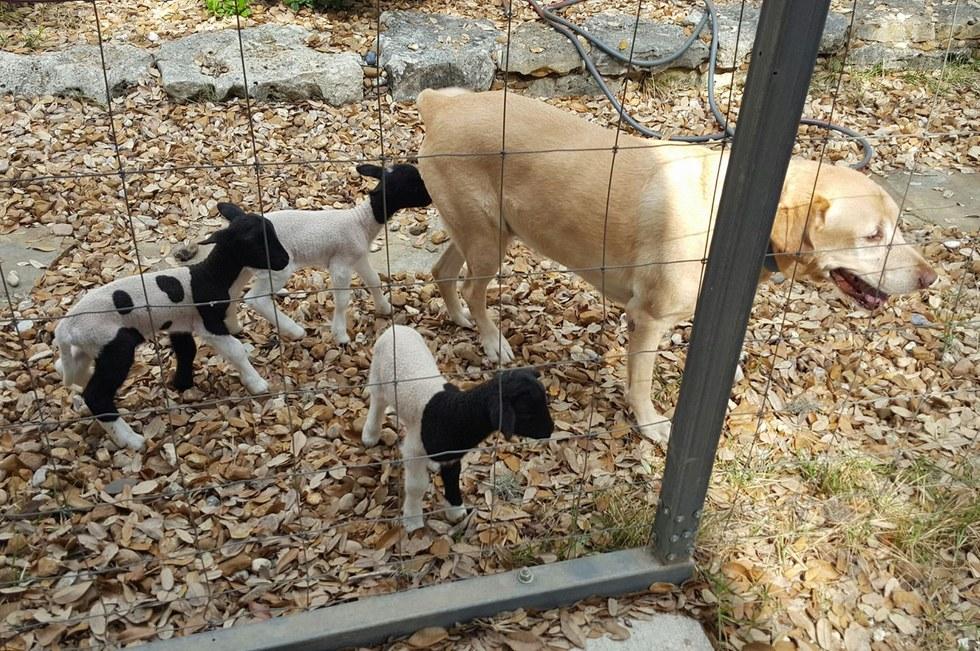 lambs love dog