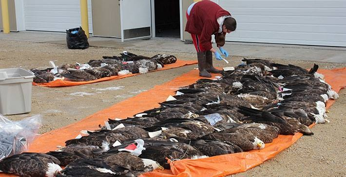 Dead bald eagles being examined by USFWS for lead poisoning