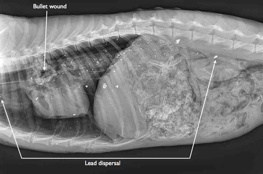 Radiograph of coyote carcass with lead bullet wound
