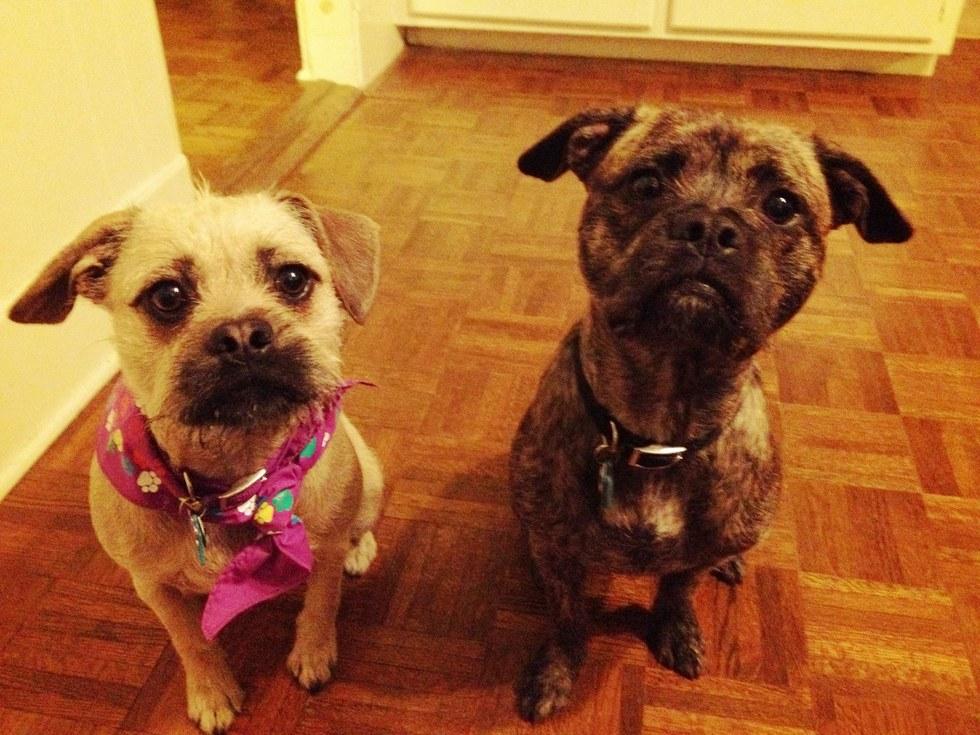 zuzu and burton, dogs missing since Hartford, CT burglary