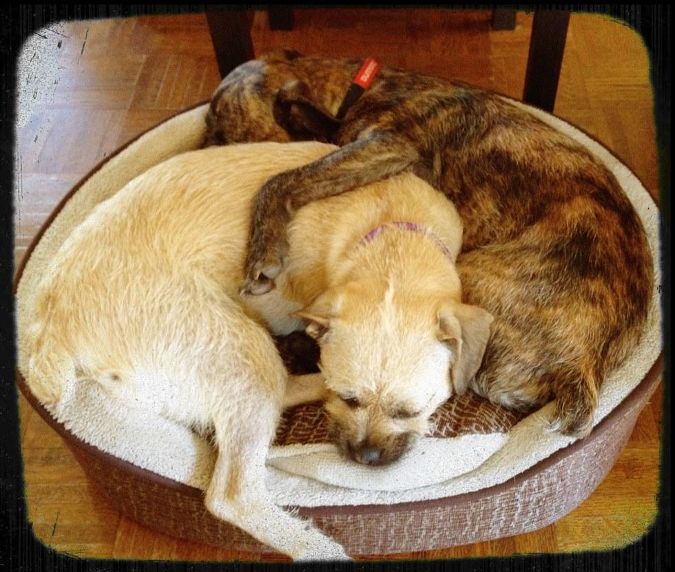 Burton and Zuzu, dogs missing since burglary in Hartford, CT