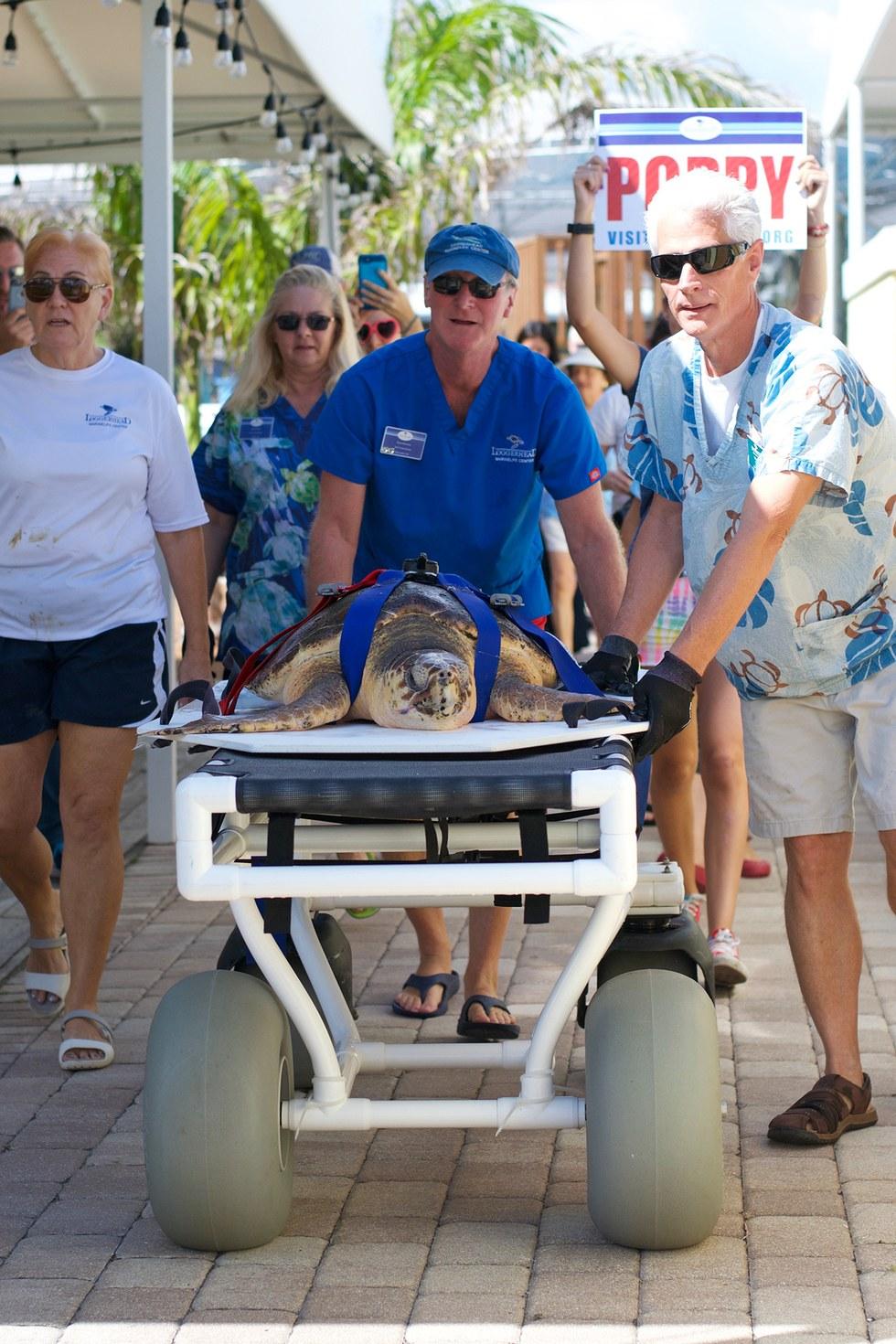 Loggerhead sea turtle ready for release in Juno Beach