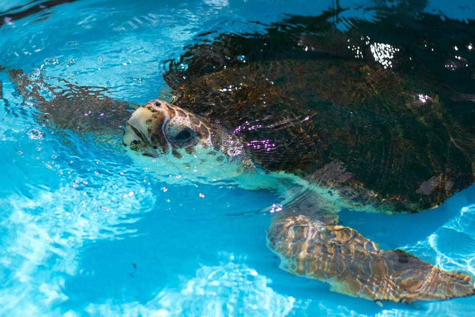 Loggerhead sea turtle rehabilitating