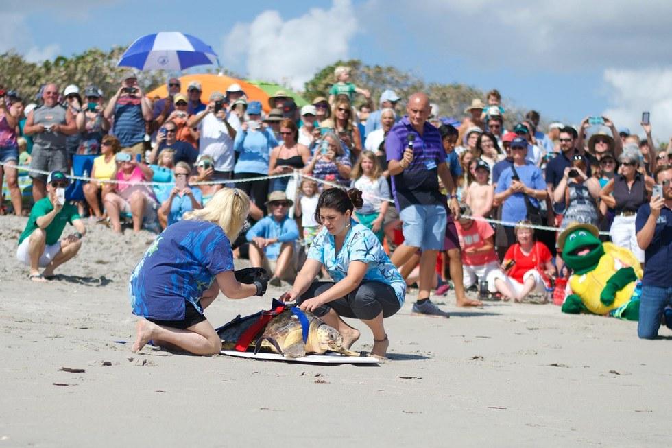 Loggerhead sea turtle release in Juno Beach