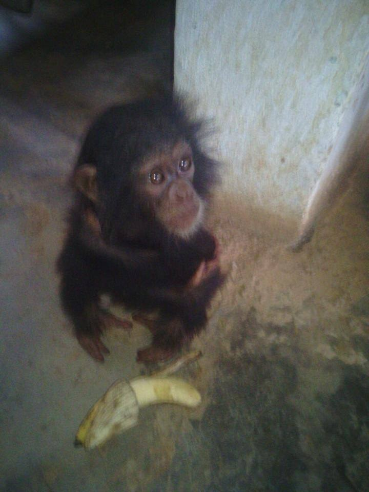 Confiscated chimp save from traffickers in Cameroon