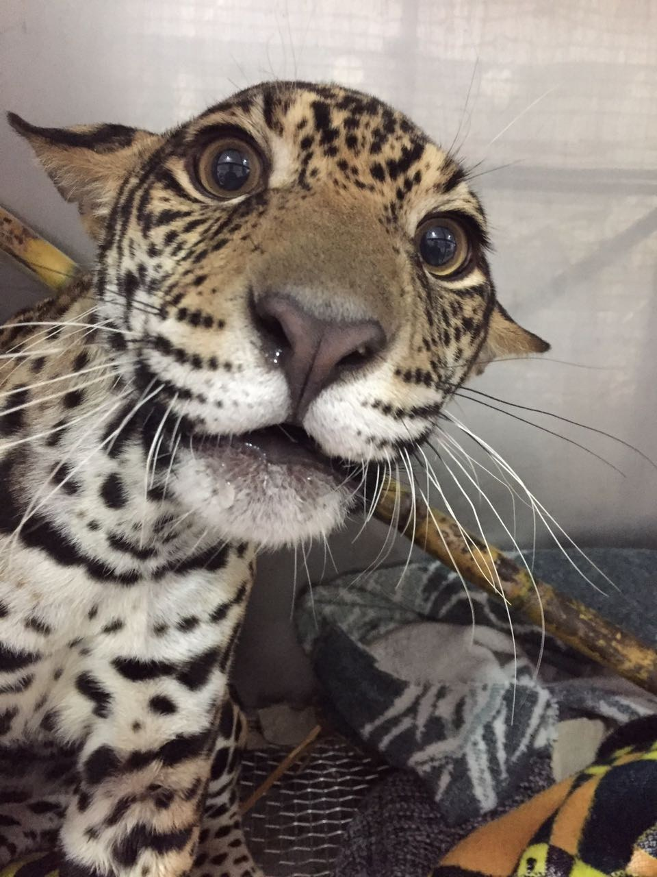 Baby jaguar recovering at an animal hospital in Ecuador